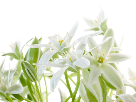 spring flower: White flowers isolated on white background. Stock Photo