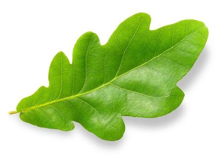 ek: Green oak leaf isolated on white background.