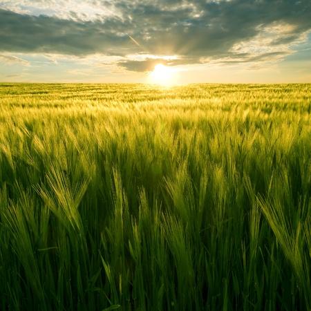 ear corn: Sol sobre campo de trigo verde. Foto de archivo