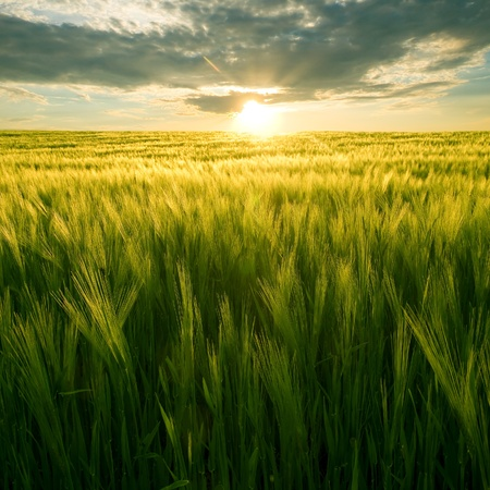 daybreak: Sun over green wheat field. Stock Photo