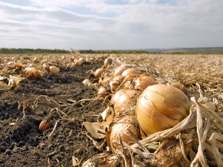 bulb and stem vegetables: Ripe onion in ground.