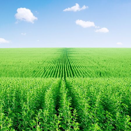 Green sunflower field and blue sky with white clouds. photo