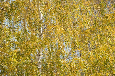 leafage: Birch leafage background.