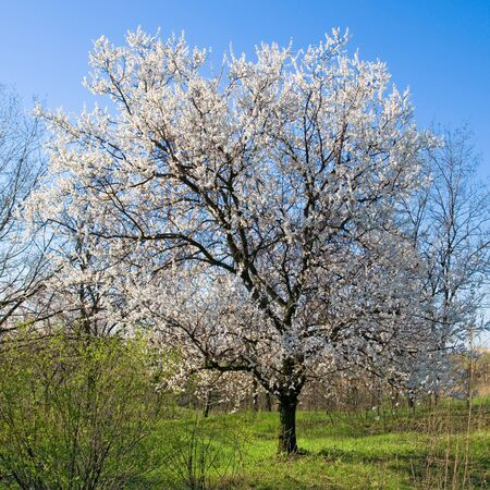 apricot tree: Flowering apricot tree.
