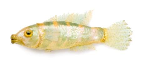 fish toy: Pesce giocattolo su sfondo bianco.
