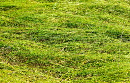creeping: Long green creeping grass background