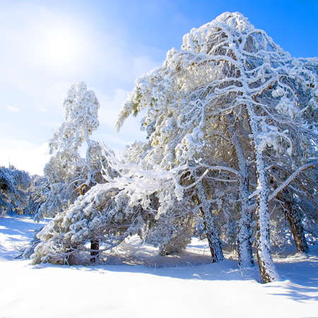 snowcovered: Snow-covered pine trees, blue sky and sun.