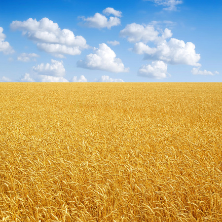 Wheat field and cloudy sky.