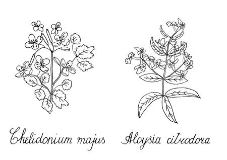 Illustrazione disegnata a mano di vettore di verbena greate limone verbena disegnata a mano. Grafica Doodle