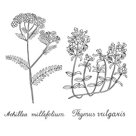Thyme Yarrow Achilea Hand drawn sketched vector illustration. Doodle graphic Ilustração