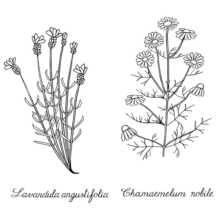 Lavender spicate chamomile wild Hand drawn sketched vector illustration. Doodle graphic