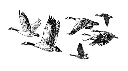 goose club: Hand drawn vector of flying flock of wild geese. Hunting club design. Tattoo Illustration