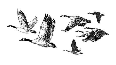 Multitud de gansos salvajes que vuelan. Dibujado a mano ilustración vectorial aislado sobre fondo blanco. Diseño del club de caza. Tatuaje.