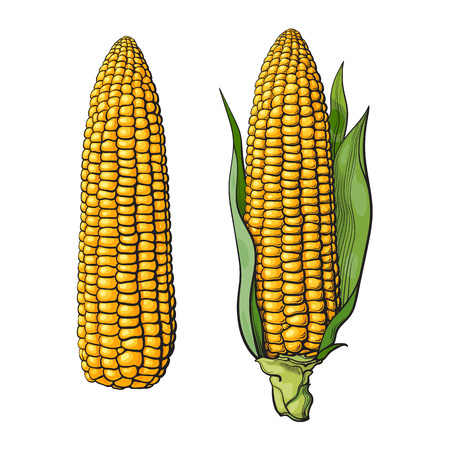 Set of ripe corn cobs