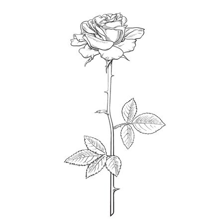 Rose flower fully open with leaves and long stem. Realistic hand drawn vector illustration in sketch style. Decorative element for tattoo, greeting card, wedding invitation, flower shop.