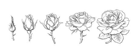 Rose flowers set. Stages of rose blooming from closed bud to fully open flower. Hand drawn sketch style vector illustration isolated on white background Illusztráció