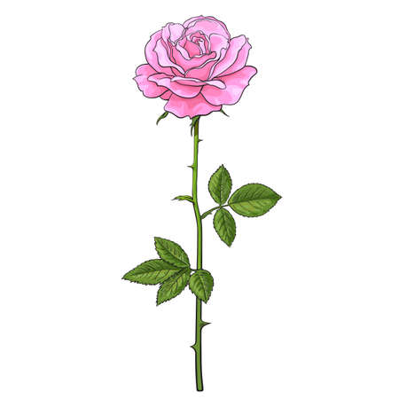 Pink rose flower fully open with green leaves and long stem. Realistic hand drawn vector illustration in sketch style