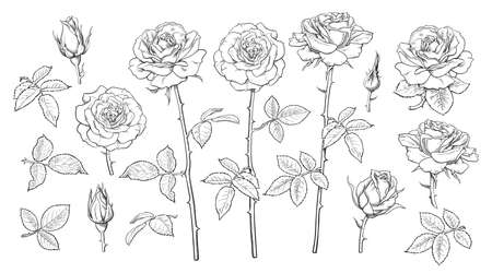 Big set of rose flowers, open and unblown rosebuds, leaves and stems Hand drawn realistic vector illustration. Illusztráció