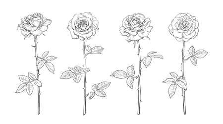 Four rose flowers, open rosebuds, leaves and stems Hand drawn realistic vector illustration. Decorative elements for tattoo, greeting card, wedding invitation in engraving style.