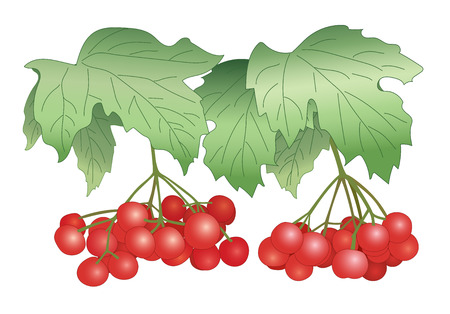 viburnum: red berries - vector illustration - viburnum