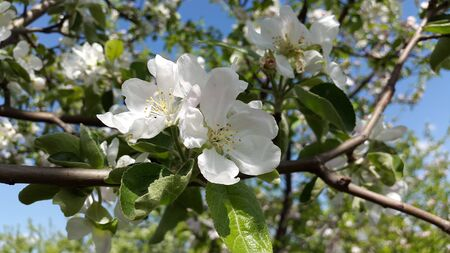 blooms: apple tree blooms - white flowers Stock Photo