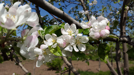 rosy: white and rosy flowers of apple tree