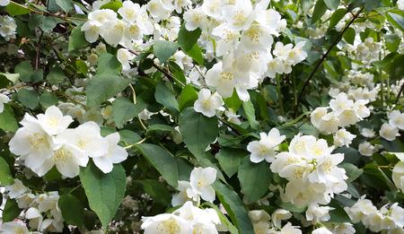 jasmine bush: jasmine - bush with white flowers