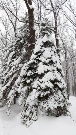 big spruce under snow