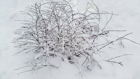 small bush with red berries and snow - winter in Ukraine