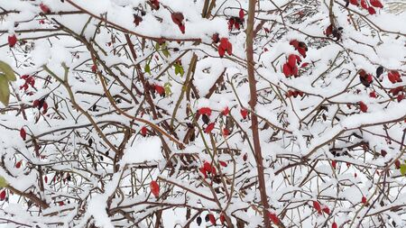bright red berries on branches under snow