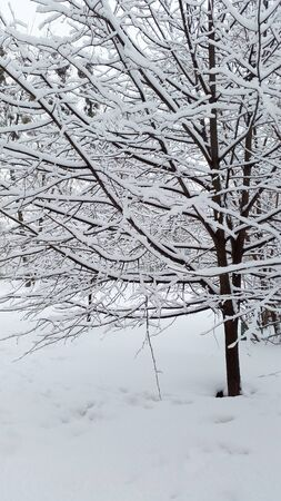 fluffy snow on branches of tree Stock Photo