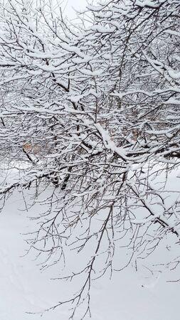 white snowy trees in winter Ukraine