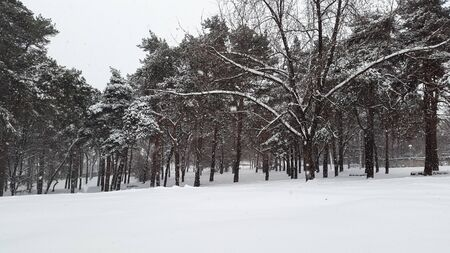 pines in park and snowfall in winter