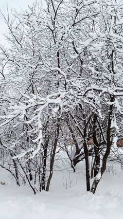 black branches and white snow in winter