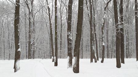 snow in forest in Kharkiv - winter in Ukraine