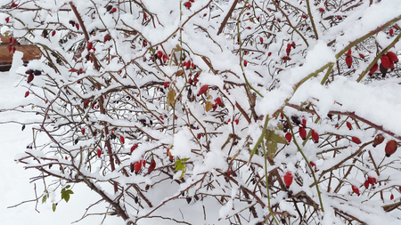 red berries and white snow in winter time Stock Photo