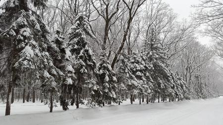 snow on spruces in park - winter in Ukraine