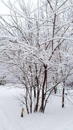 white snow on tree - winter in Ukraine