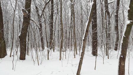 winter forest in Ukraine Stock Photo