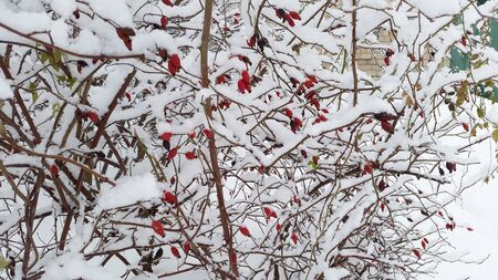 red berries on bush and white snow in winter time