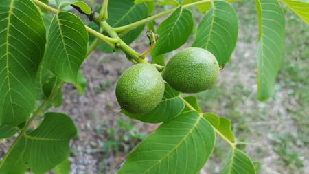 unripe green walnuts on branch Stock Photo - 104846611