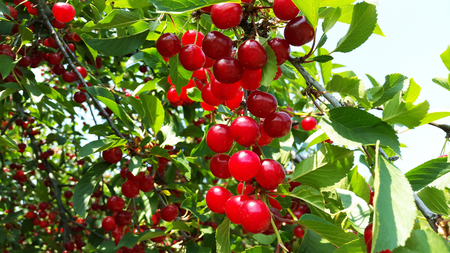 bright red cherries on branches Stock Photo - 104846610