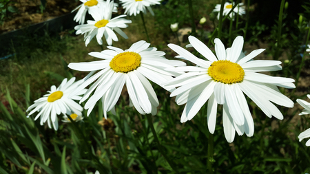 big white camomile in the garden Stock Photo - 104846615