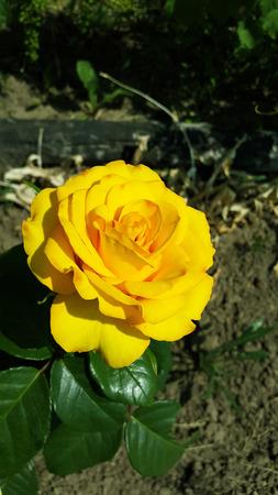 big yellow garden rose blooms Stock Photo - 104846616