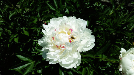 large white peony with wasp in the garden Stock Photo - 104846619