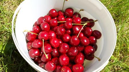 sweet cherries in white bucket in the garden Stock Photo - 104846620