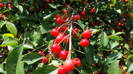 branches with many red cherries Stock Photo - 104846626
