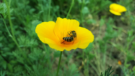 honeybee pollinates poppy close-up Stock Photo - 104846625