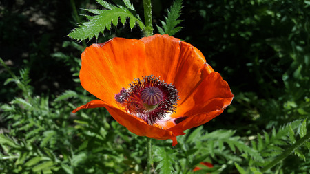 big red poppy blooms on green background Stock Photo - 105148259
