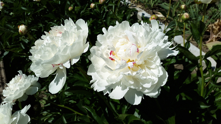 white peonies in the garden Stock Photo - 105148261